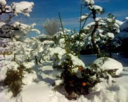 Agrumes sous la neige