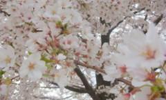 金沢の桜 / Sakura in Kanazawa