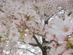 Sakura in Kanazawa